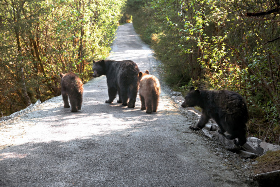 Mother black bear and three cubs