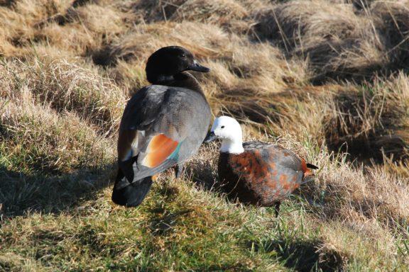 Tasman Valley ducks